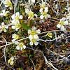 Lapland Diapensia (Diapensia lapponica)