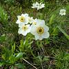 Narcissus-flowered Anemone (Anemone narcissiflora)