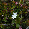 Star Flower (Trientalis arctica) among the lingonberries (Vaccinium vitis-idaea)