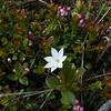 Star Flower (Trientalis arctica) among the lingonberries (Vaccinium vitis-idaea)