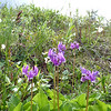 Frigid Shooting Star (Dodecatheon austrofrigidum)