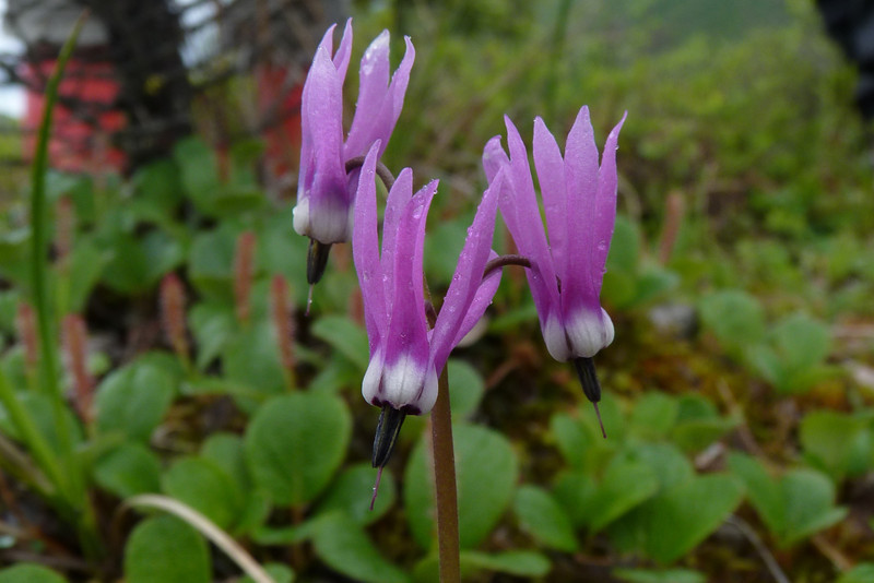 Day 4 - 6/12/2012:  On the first stop of our naturalist foray, we see Frigid Shooting Star (Dodecatheon frigidum)