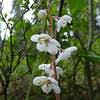 Large-flowered Wintergreen (Pyrola grandiflora)