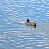 We admire more waterfowl on our return to Camp Denali, like this Green-winged Teal.