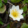 Mountain Avens at our picnic area