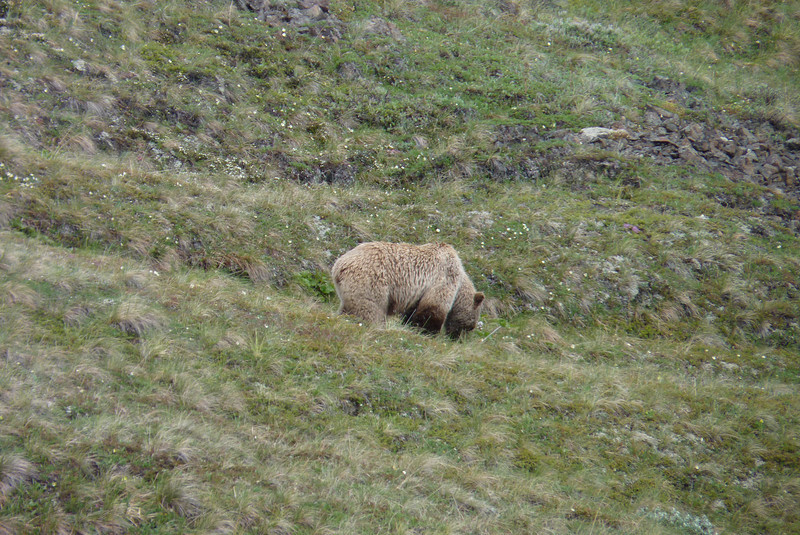 A Grizzly Bear sighting lifts our spirits after our experience of near blizzard conditions.