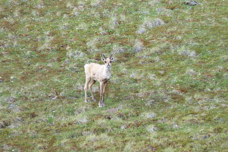 From atop our first ridge we see a lone Caribou with a large gash it its side.  Seen head on, the caribou is a little bit of a doofus.