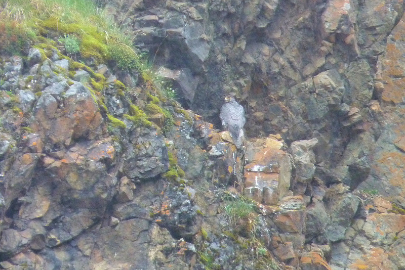 Most exciting spotting of the day for Patti -- a Gyrfalcon!  Perching with her back to us seems to be a typical strategy to enhance camouflage, since her front side is brighter white.