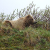Grizzly!  Happily, we are on the right side of the bus when someone spots this meditative Grizzly bear close to the road.