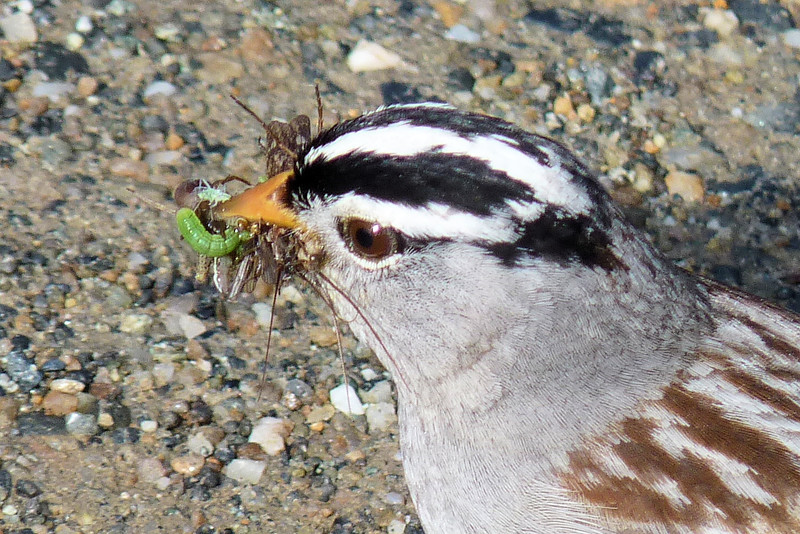 Yum!  He's got quite a variety of different bugs there!  Quite the lucky White-crowned Sparrow chick who gets that juicy caterpillar.