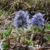 Alaska Synthyris (Synthyris borealis)