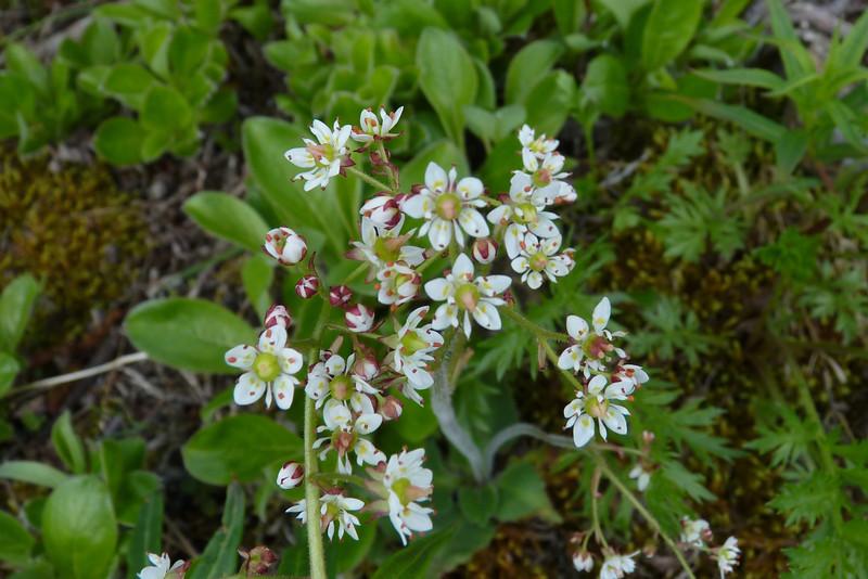 Red-stemmed Saxifrage (Saxifraga lyallii), we think...
