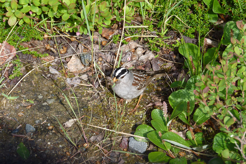 While walking up to the lodge for dinner, Patti is waylaid by a White-crowned Sparrow gathering his dinner...