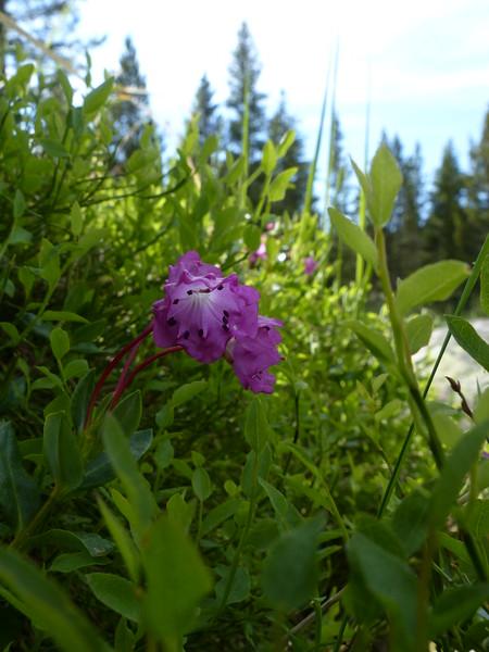 Alpine Laurel (Kalmia microphylla)