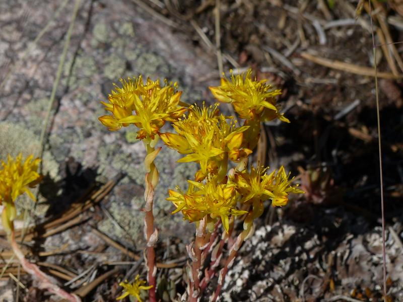 Lanceleaf Stonecrop (Sedum lanceolatum)