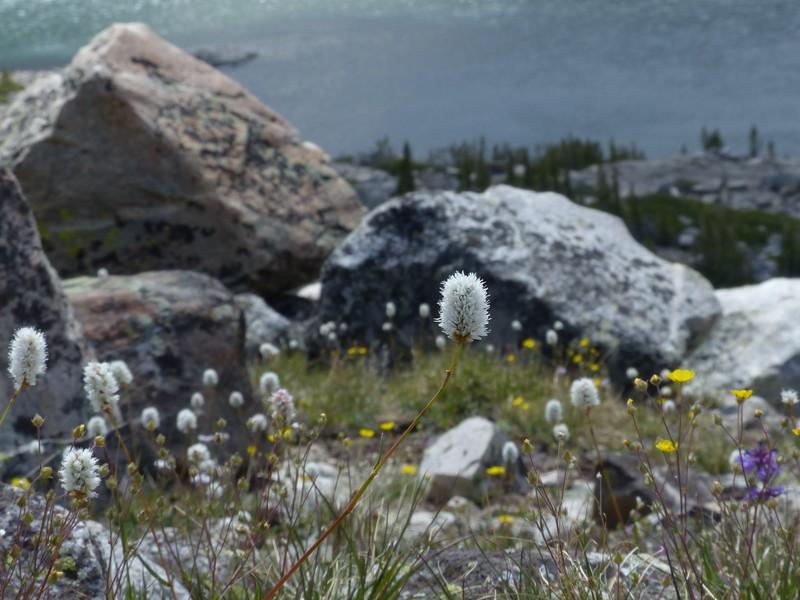 Western Bistort (Polygonum bistortoides)
