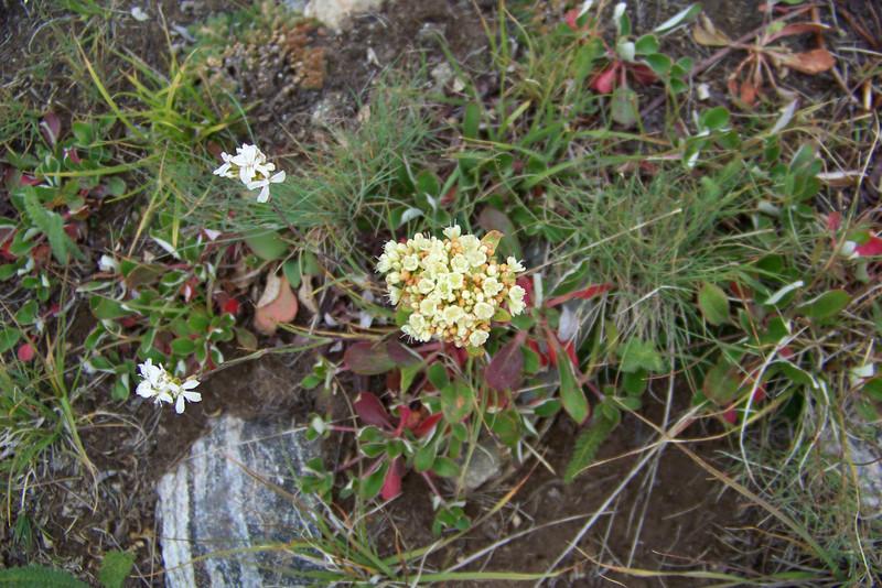 Sulfur-flowered Buckwheat (Eriogonum umbellatum)