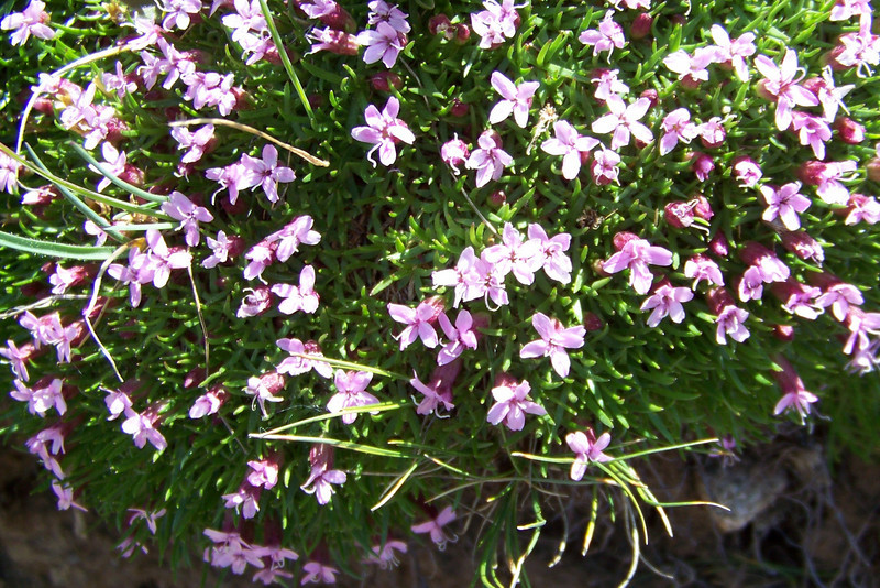 Moss Campion (Silene acualis). Our flower book says this plant may be 10 years old before it blooms!