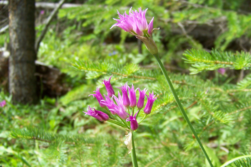 Thursday, August 6th: We leave our pleasant campsite to hike a mostly wooded trail, where we find this Shortstyle Onion ( Allium brevistylum )