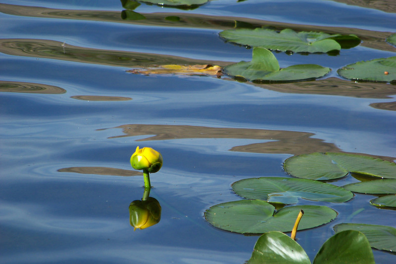 Rocky Mountain Pond Lily (aka Spatterdock)