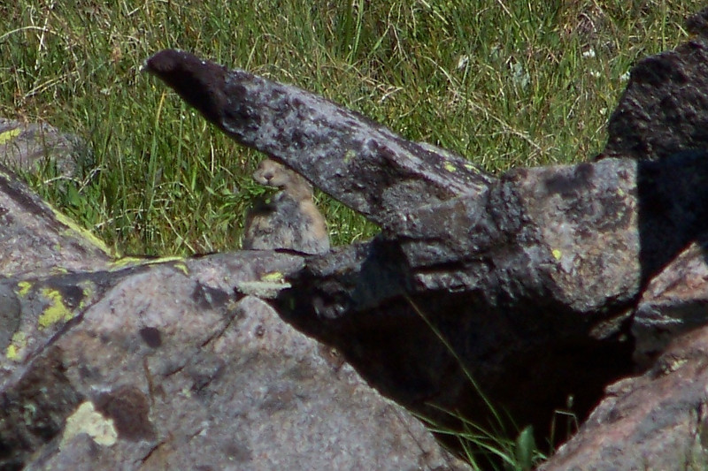 While eating breakfast, we discovered this little Pika stuffing his face with foliage (he's under the slanted rock).