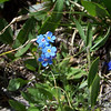 Many-flowered stickseed aka Forget-me-not (Hackelia floribunda)