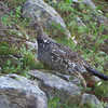 Blue Grouse female
