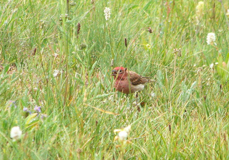 Cassin's Finch - he finds plenty to eat in this meadow.
