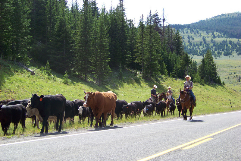 We love seeing cowboys driving cattle up the highway...only in Wyoming.