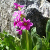 Parry Primrose (Primula Parryi)