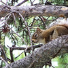 This Red Squirrel chitters his annoyance at us for camping in his territory and not sharing our GORP.