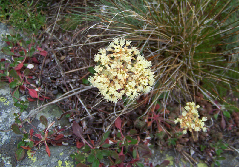 Sulfur-flowered Buckwheat (Eriogonum umbellatum).  The leaves on this flower are as striking as the flower; turning a brilliant red.