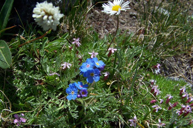 An all-star alpine flower lineup