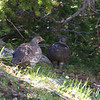 Patti manages to spot this Blue Grouse pair before she spooks them, and we're able to stand quietly and watch them. Jeane photographs...