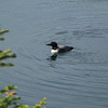 A Common Loon flies in and does some fishing in front of us, delighting both of us greatly!