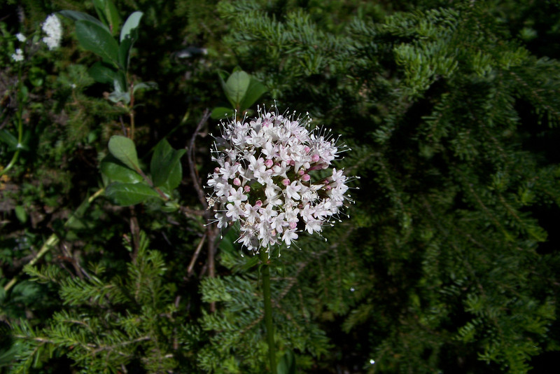 These slopes contain large numbers of Valerian (Valeriana sitchensis).
