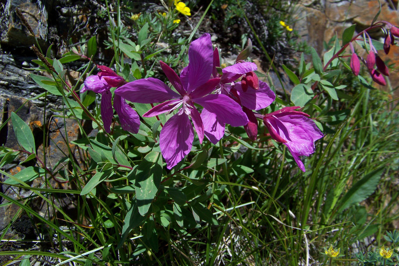 Our flower book contains two common names for this striking flower: Dwarf Fireweed or River Beauty (Chamerion latifolium).