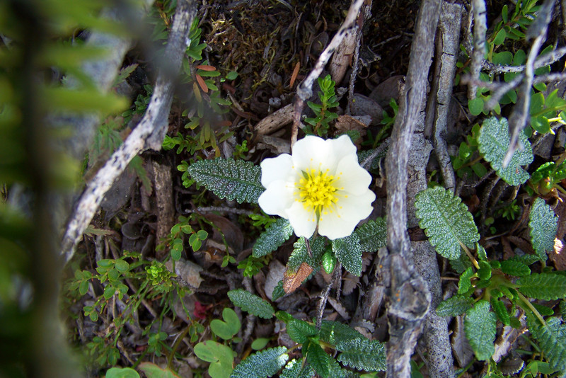 Jeane also shot some Mountain Avens (Dryas octopetala).  No flowers were harmed during this shooting.