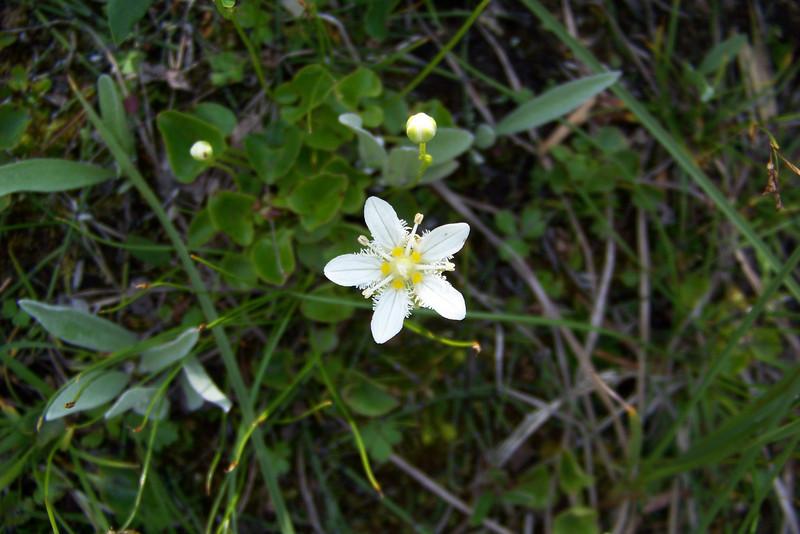 Fringed Grass of Parnassus (Parnassia fimbriata)