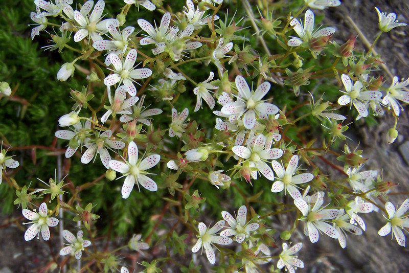 Yellowdot Saxifrage (Saxifraga bronchialis) is a flower we have to squat to appreciate -- its tiny flowers are stunning up close and personal.
