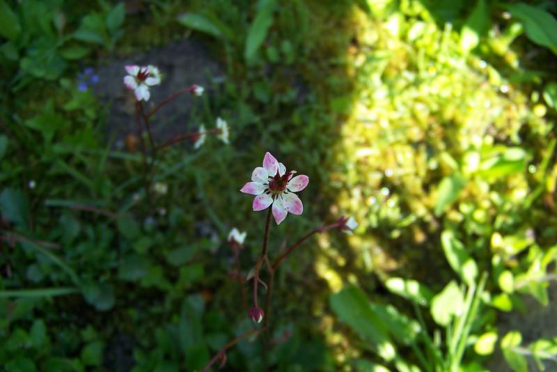 Redstem Saxifrage (Saxifraga lyallii) -- growing beside a small stream we crossed on boardwalk.