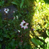 Redstem Saxifrage (Saxifraga lyallii) -- growing beside a small stream we crossed on boardwalk.