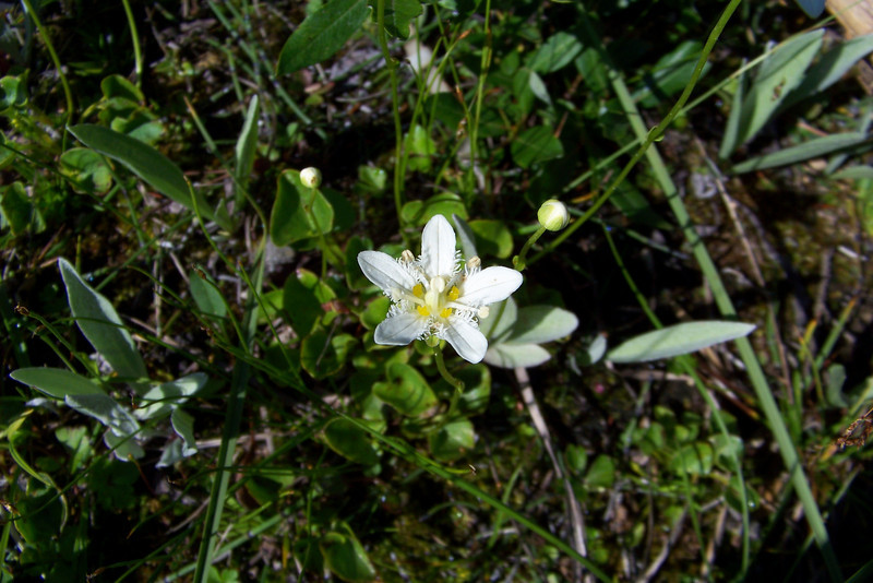 Day 8:  Friday, July 30 -- We head to the trailhead for the Iceline in Yoho National Park.  Patti opens the car door to find the lovely Fringed Grass of Parnassus (Parnassia fimbriata)