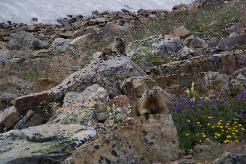Mrs. Hoary Marmot (Marmota caligata) and her youngster sun themselves on the rocks in an avalanche path.