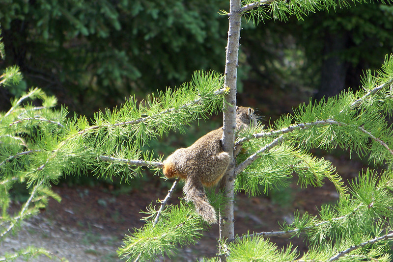 One of our Columbian Ground Squirrel lunch companions climbs into this small Larch and nibbles on the soft needles.  We point out that he is a ground squirrel, and not a tree squirrel, but he pays us no mind.