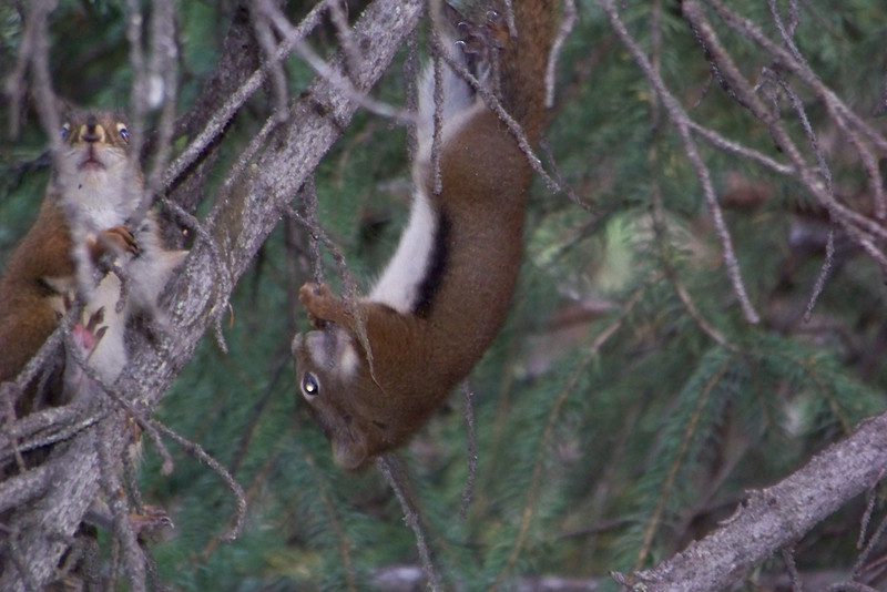 The first part of the trail takes us through dark forest, where chattering alerts us to the presence of three young Red Squirrels (Tamiasciurus hudsonicus) chasing each other around a tree.