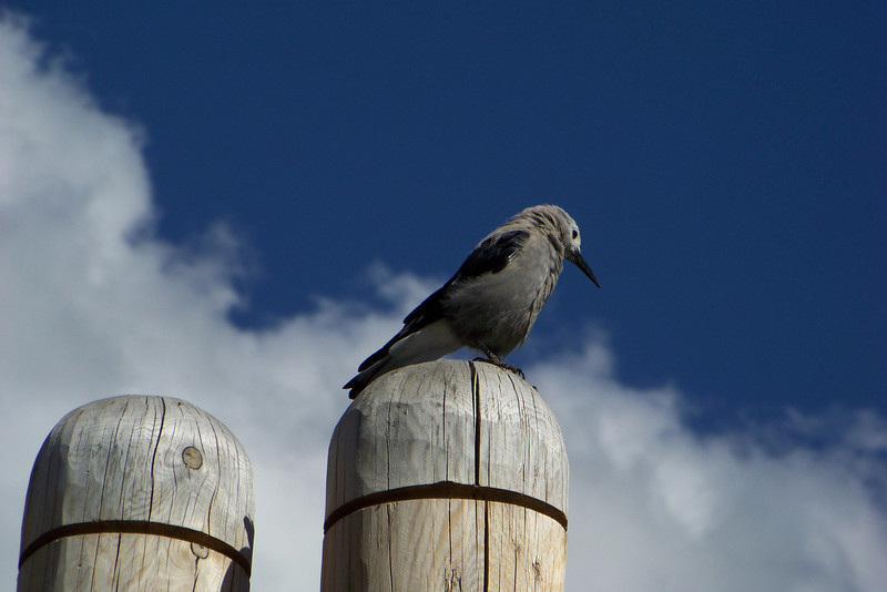 This Clark's Nutcracker hangs out among the throngs of tourists at Lake Louise, hoping for an easily-won snack.