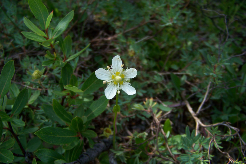 Back at the car, Patti can't resist a few more shots of the lovely Fringed Grass of Parnassus (Parnassia fimbriata)