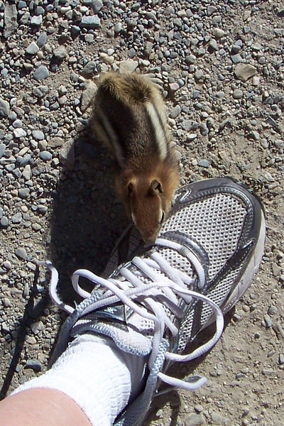 """Day 2: July 24th.  We begin our day with a walk up the Moraine Lake """"Rockpile"""", which is a huge rockfall overlooking the lake.  A Golden-mantled Ground Squirrel (Spermophilus lateralis) tries to chew on Patti's shoestring."""