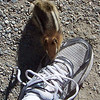"Day 2: July 24th.  We begin our day with a walk up the Moraine Lake ""Rockpile"", which is a huge rockfall overlooking the lake.  A Golden-mantled Ground Squirrel (Spermophilus lateralis) tries to chew on Patti's shoestring."